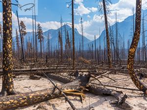 Verbrannter Wald in Jasper Kanada