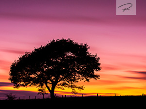 Eichenbaum im Sonnenuntergang