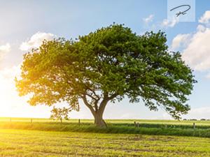 Der Eichenbaum im Sommer