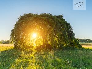 Sonnenuntergang an der alten S�ntelbuche