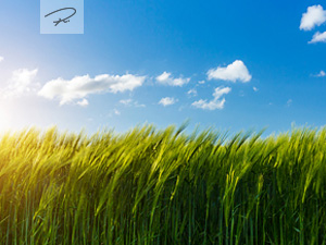 Weizenfeld im Frühling