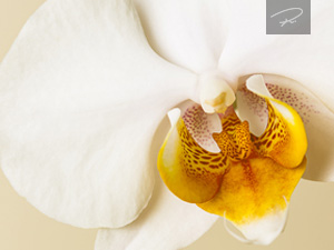 orchideenblüte